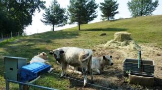 08-15; Ceska Skalice; Andreas seine Rinder 03