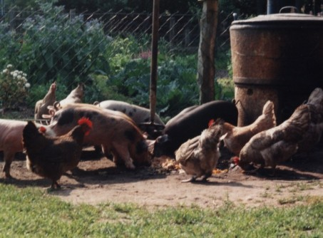 Ferkel und Hühner am Dämpfer