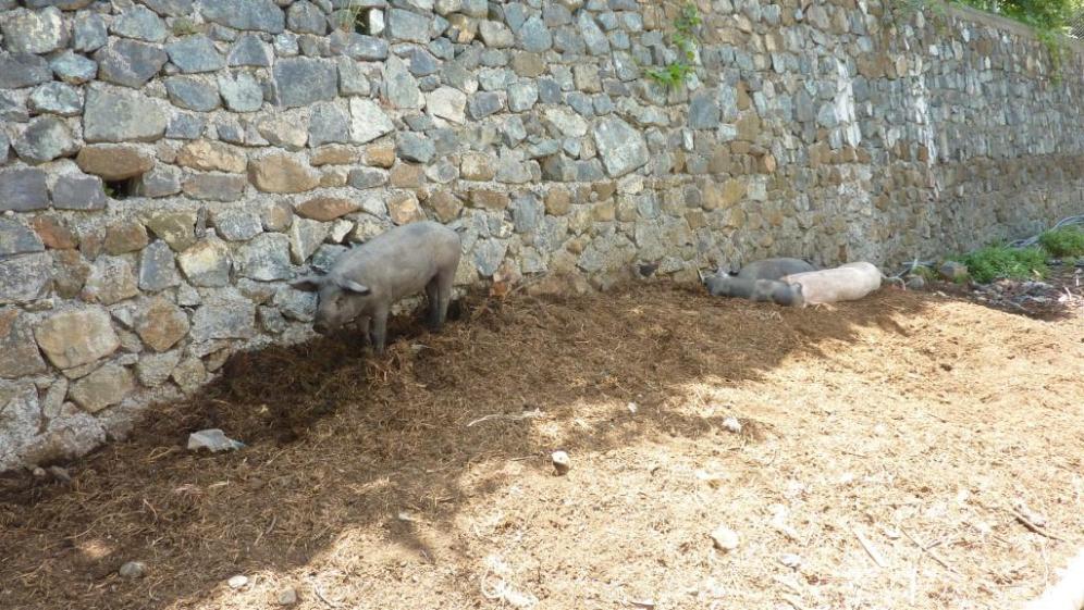 Schweine auf der Straße