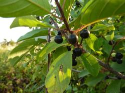 2017-08-06; Ohridsee 06; Blüten 03