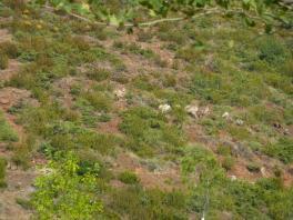 Schafe im Berg