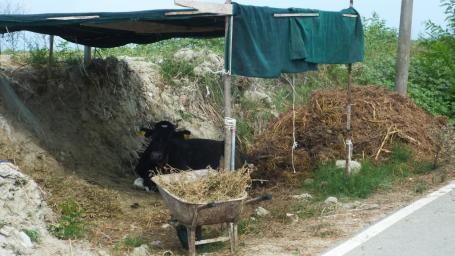 Die glückliche Kuh ohne Spaltenboden und Boxenlaufstall