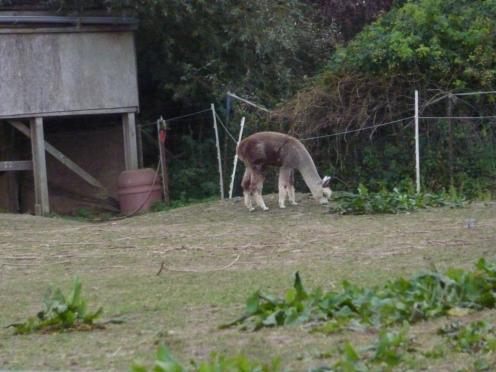 Nachwuchs bei den Alpackas