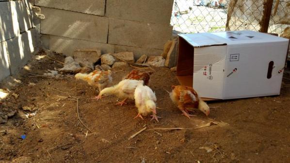 Die Hühner!