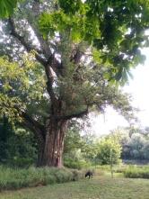 Naturdenkmal Pappel