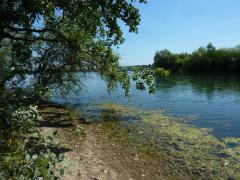 Schilf und Seerosen am Ufer