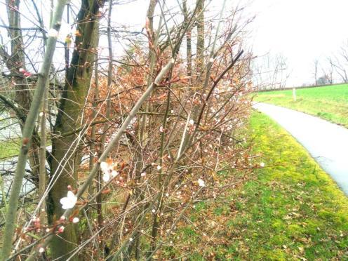 Wilde Pflaume im März